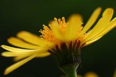 Detail der gelben Blume lizenzfreie stockfotos