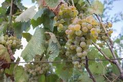 Detail der handgemachten Traubenernte im georgischen Weinberg Reife Traube, die an den Weinfeldern wächst Naturhintergrund mit We Stockfoto