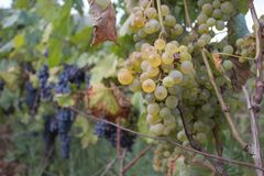 Detail der handgemachten Traubenernte im georgischen Weinberg Reife Trauben mit grünen Blättern Naturhintergrund mit Weinberg Rei Lizenzfreie Stockfotografie