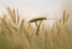 Detail der Ohren des Weizens. Stockbild