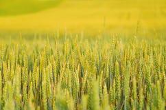 Detail der Ohren des Weizens Stockbild