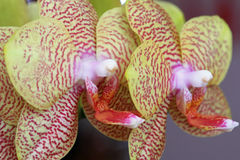 Detail der Orchidee Stockbilder