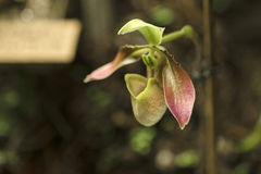 Detail der Orchidee stockfotos