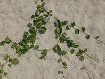 Detail der Sandhintergrundbeschaffenheit und der trockenen Betriebsmeerespflanze lizenzfreies stockfoto