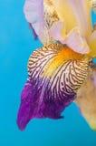 Detail der sibirischen Iris auf dem hellen blauen backgruound Stockbilder