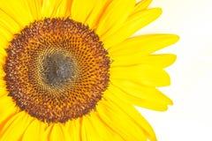 Detail der Sonnenblume Lizenzfreie Stockfotografie