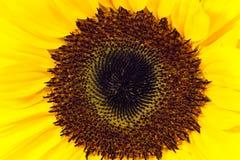 Detail der Sonnenblume Stockfotos
