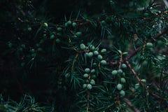 Detail der Wacholderbuschniederlassung voll der Beeren stockfotografie