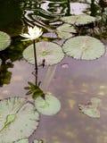 Detail der Wasserpflanze der nucifera Art lizenzfreies stockfoto