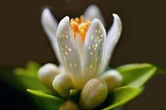 Detail der Zitrusfruchtblume mit den Knospen und den Blumenblättern stockfotografie
