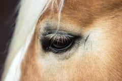 Detail des Auges des jungen Halfings stockbild