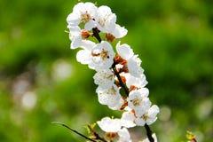 Detail des Blütenaprikosenbaums Lizenzfreie Stockbilder