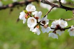 Detail des Blütenaprikosenbaums Stockbilder