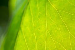 Detail des Blattes der Grünpflanze Stockbilder