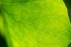 Detail des Blattes der Grünpflanze Lizenzfreies Stockfoto