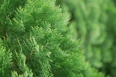 Detail des chinesischen Arborvitae Stockfotografie