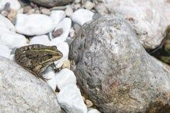 Detail des europäischen Frosches auf einem gerundeten Flussstein Stockfoto