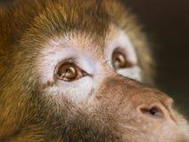 Detail des Gesichtes, des Auges und der Nase Barbary-Makakens - Macaca sylvanus Lizenzfreies Stockfoto