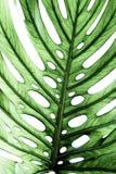 Detail des grünen Blattes Stockbild