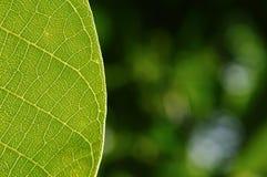 Detail des grünen Blattes Stockfoto