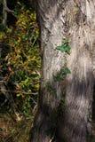 Detail des grünen Efeus auf einem Baum Stockfotos