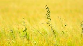 Detail des grünen Hafergrases, das auf dem Gerstengebiet wächst Feld von reifenden Maispflanzen im Juni stock video