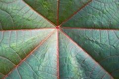 Detail des großen dunkelgrünen Blattes Stockbild