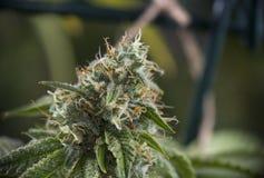 Detail des Hanfkolabaums u. des x28; ob Trennmaschinen-Marihuana strain& x29; auf spätem flo Lizenzfreie Stockfotografie