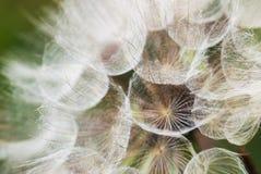 Löwenzahn mit Samen Stockfoto