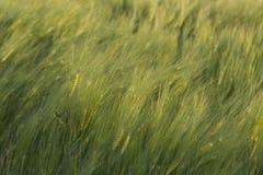 Detail des Landes gepflanzt mit Weizen Stockfotografie