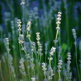 Detail des Lavendels Stockfoto