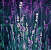 Detail des Lavendels Stockbild
