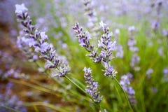 Detail des Lavendels, Provence, Frankreich Lizenzfreie Stockfotografie