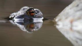 Detail des orange Auges eines Frosches stock footage