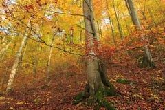 Detail des orange Buchenbaums in einem Wald Stockfoto