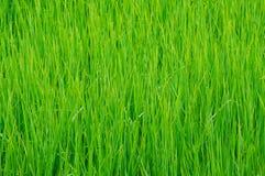 Detail des Reisfeldes in Thailand. Stockfoto