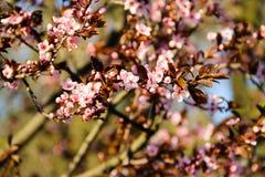 Detail des rosa blühenden japanischen Kirschbaums Lizenzfreie Stockbilder