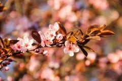 Detail des rosa blühenden japanischen Kirschbaums Lizenzfreies Stockfoto