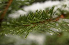 Detail des Schnees bedeckte gezierten Zweig im Winter lizenzfreie stockbilder