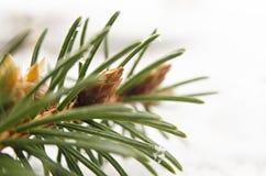 Detail des Schnees bedeckte gezierten Zweig im Winter Stockbild