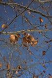 Detail des trockenen Brauns verlässt auf einer Niederlassung im Herbst mit blauem Himmel a Lizenzfreie Stockfotos