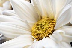 Detail des weißen Gänseblümchens stockfotografie