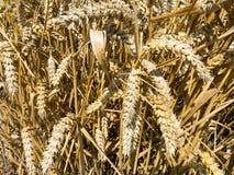 Detail des Weizens, Holland Lizenzfreies Stockbild