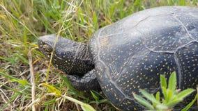 Detail die van Europese orbicularis van Emys van de vijverschildpad of Europese vijvermoerasschildpad in gras, het hoofd in shell stock footage