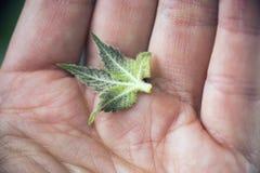 Detail die van hand het kleine blad van de cannabissuiker met trichomes houden royalty-vrije stock afbeeldingen