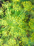 Detail of dill flowers close. blurred background. Dill. Anethum graveolens in garden. Florescence fennel seeds with ripe autumn Stock Photography