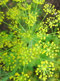 Detail of dill flowers close. blurred background. Dill. Anethum graveolens in garden. Florescence fennel seeds with ripe autumn Royalty Free Stock Images