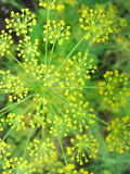 Detail of dill flowers close. blurred background. Dill. Anethum graveolens in garden. Florescence fennel seeds with ripe autumn Royalty Free Stock Photos