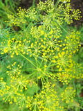 Detail of dill flowers close. blurred background. Dill. Anethum graveolens in garden. Florescence fennel seeds with ripe autumn. Dill, fennel; yellow; blossom royalty free stock photography