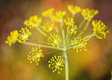 Detail of dill flowers (close-up). Dill (Anethum graveolens) in garden. Florescence fennel seeds with ripe autumn. Dill, fennel; yellow; blossom; garden; spring stock images